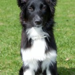 Astra Australian Shepherd
