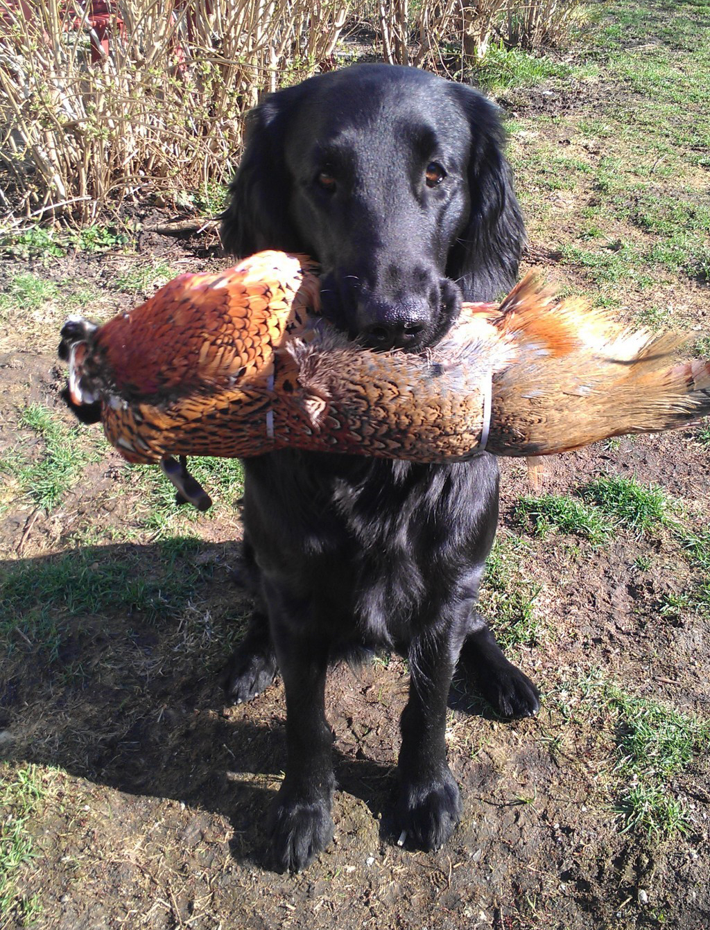 Lystra Flatcoated Retriever