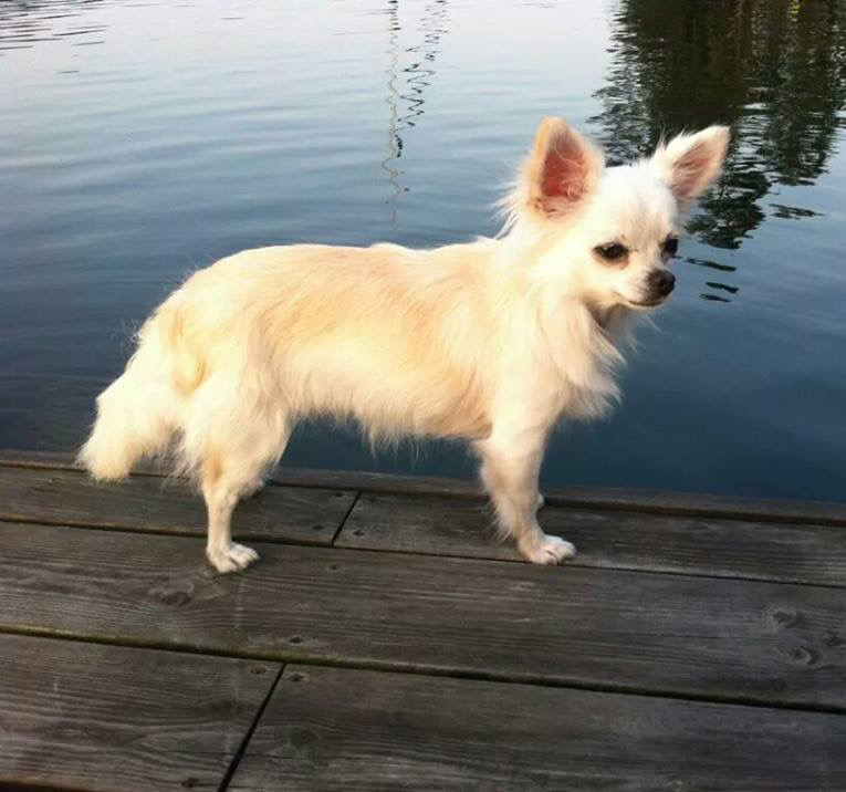 Bella, Chihuahua
