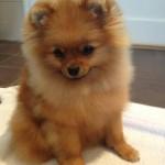 Chanel Pomeranian