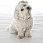 Doggie Coton de Tulear
