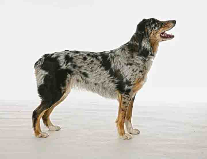 Häxa, Australian Shepherd