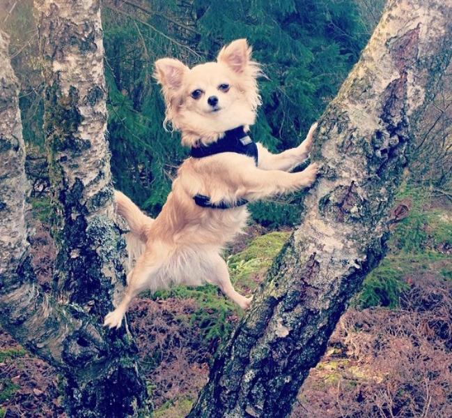 Nikkie Chihuahua
