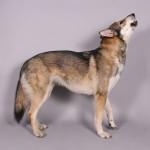 Varga American Wolfdog