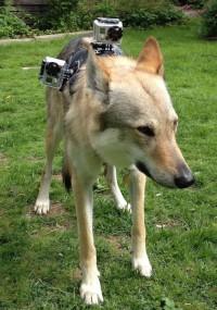 Vita är tränad att bära GoPro