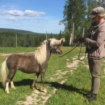 Silver, American Miniature Horse, hingst