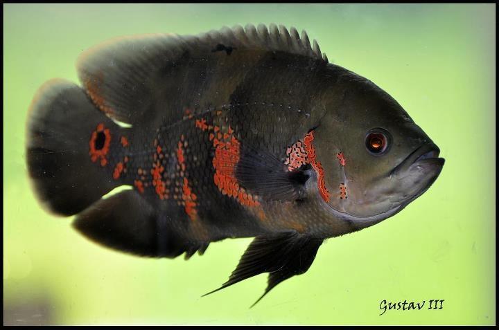 gustav_fisk