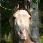 Percy 150 cm, sto, silvergulbrun