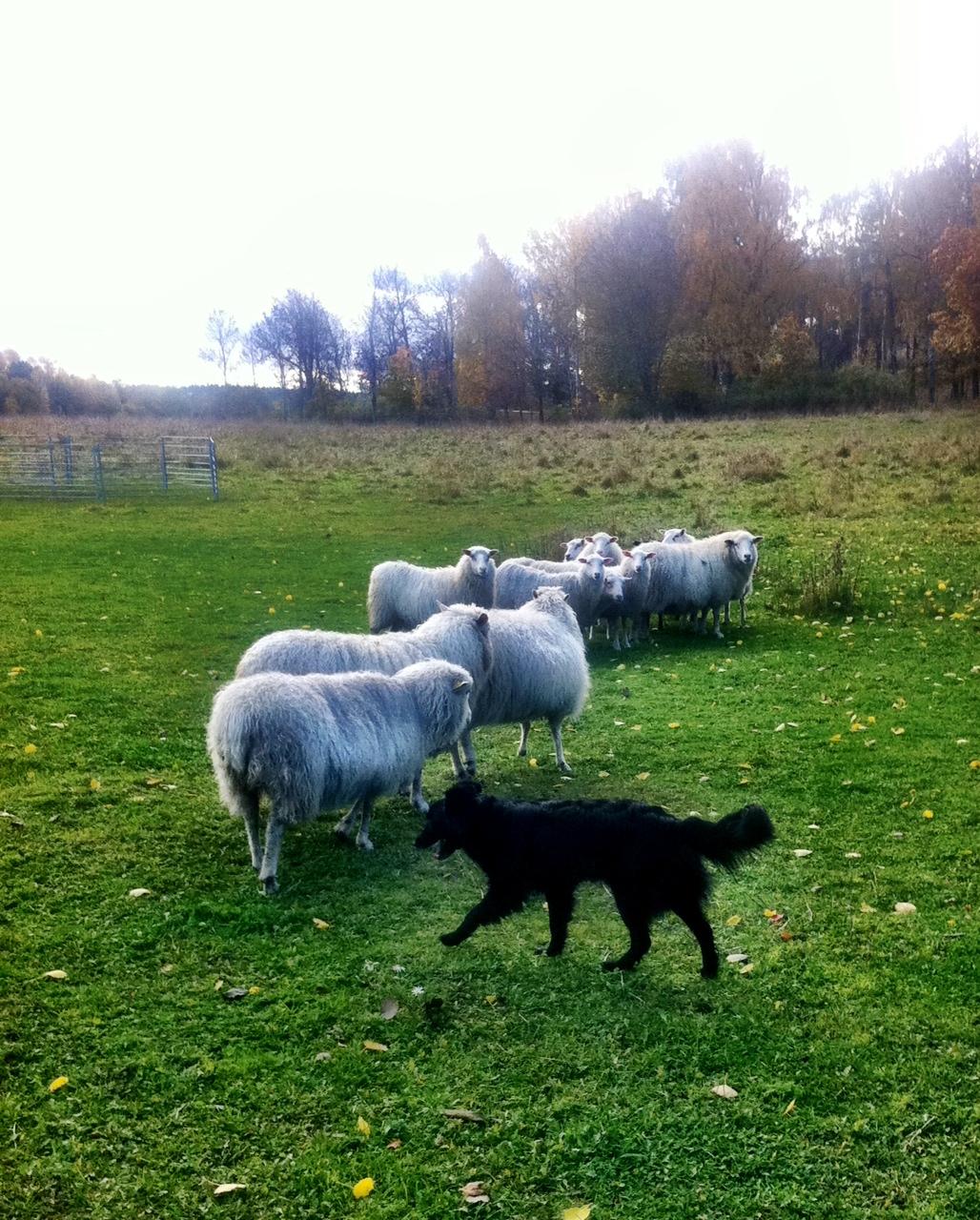 sheep_phoebe