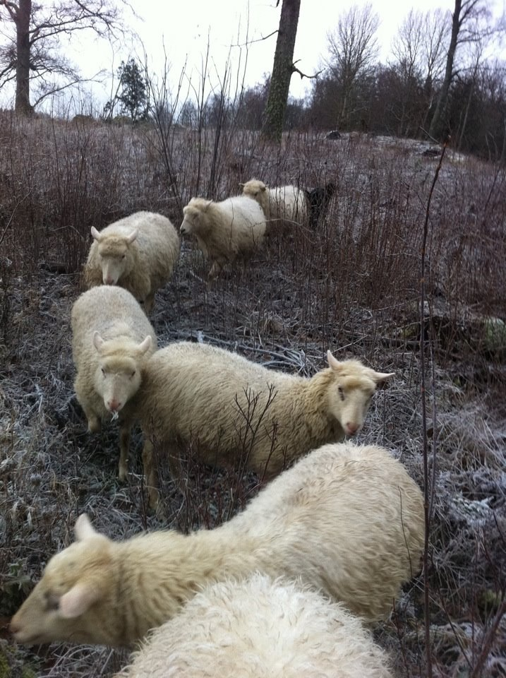 sheep_s