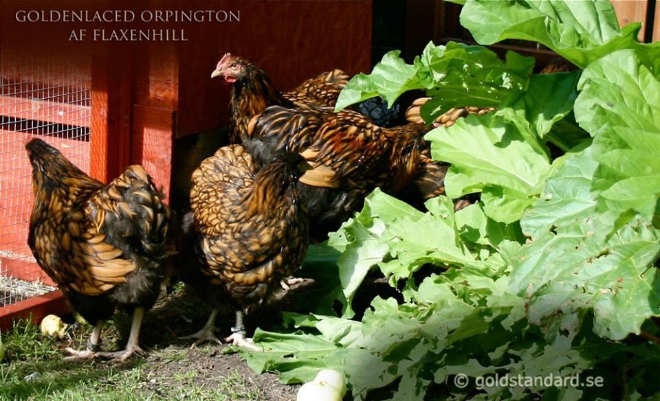 Goldenlaced Orpington